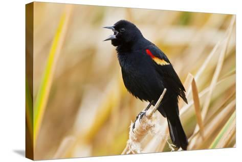 Red-Winged Blackbird (Agelaius Phoeniceus) Male Singing, Texas, USA-Larry Ditto-Stretched Canvas Print