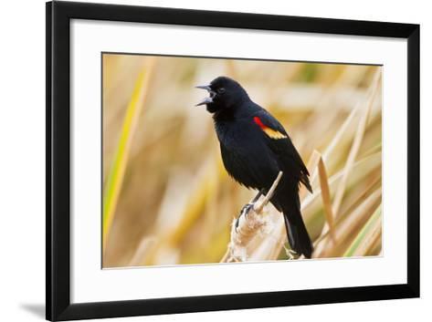 Red-Winged Blackbird (Agelaius Phoeniceus) Male Singing, Texas, USA-Larry Ditto-Framed Art Print