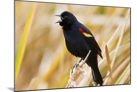 Red-Winged Blackbird (Agelaius Phoeniceus) Male Singing, Texas, USA-Larry Ditto-Mounted Photographic Print