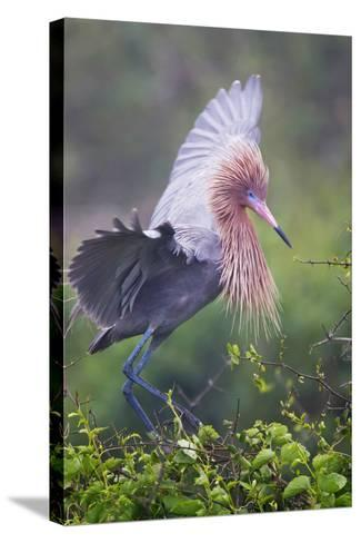 Reddish Egret in Breeding Plumage, Green Island Sanctuary, Texas, USA-Larry Ditto-Stretched Canvas Print