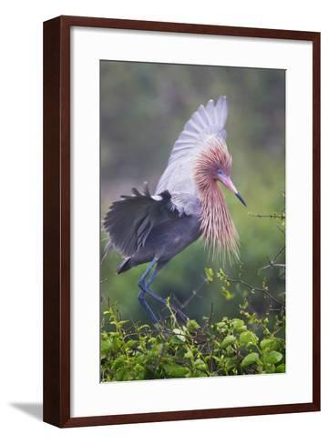 Reddish Egret in Breeding Plumage, Green Island Sanctuary, Texas, USA-Larry Ditto-Framed Art Print