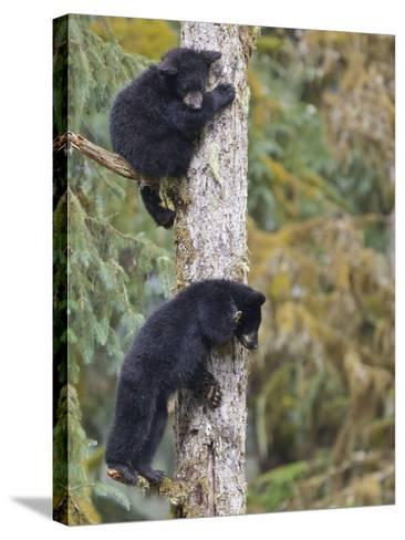 Two Black Bear Cubs in a Tree, Anan Creek, Alaska, USA-Jaynes Gallery-Stretched Canvas Print
