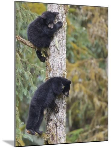Two Black Bear Cubs in a Tree, Anan Creek, Alaska, USA-Jaynes Gallery-Mounted Photographic Print