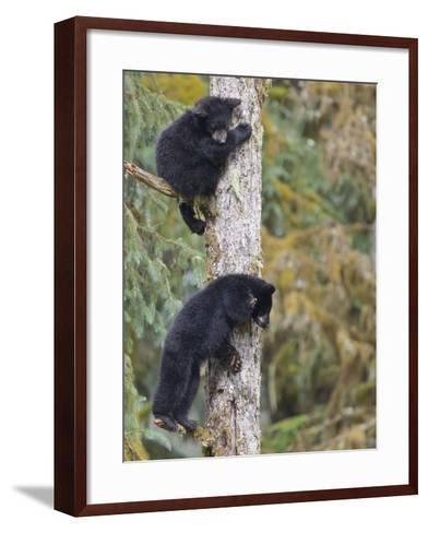 Two Black Bear Cubs in a Tree, Anan Creek, Alaska, USA-Jaynes Gallery-Framed Art Print