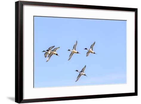 Northern Pintail Ducks in Courtship Flight, Montana, USA-Chuck Haney-Framed Art Print