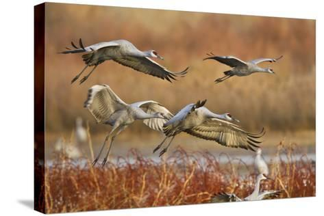 Sandhill Cranes Landing, Bosque Del Apache NWR, New Mexico, USA-Larry Ditto-Stretched Canvas Print