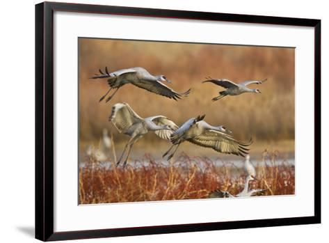 Sandhill Cranes Landing, Bosque Del Apache NWR, New Mexico, USA-Larry Ditto-Framed Art Print