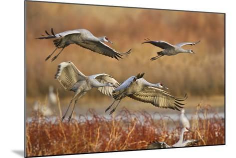 Sandhill Cranes Landing, Bosque Del Apache NWR, New Mexico, USA-Larry Ditto-Mounted Photographic Print