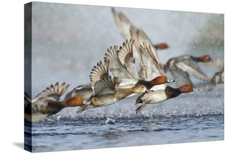 Redhead Duck Flock Flying from Freshwater Pond, Texas, USA-Larry Ditto-Stretched Canvas Print