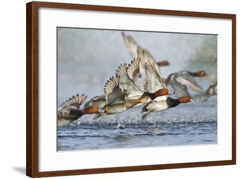 Redhead Duck Flock Flying from Freshwater Pond, Texas, USA-Larry Ditto-Framed Art Print