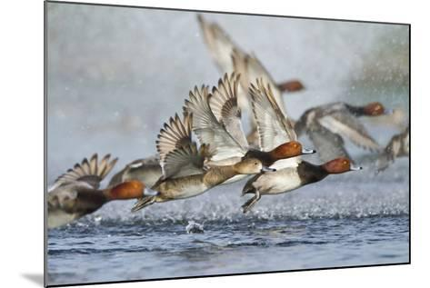Redhead Duck Flock Flying from Freshwater Pond, Texas, USA-Larry Ditto-Mounted Photographic Print