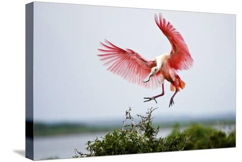 Roseate Spoonbill (Ajaia Ajaja) Adult Landing, Texas, USA-Larry Ditto-Stretched Canvas Print