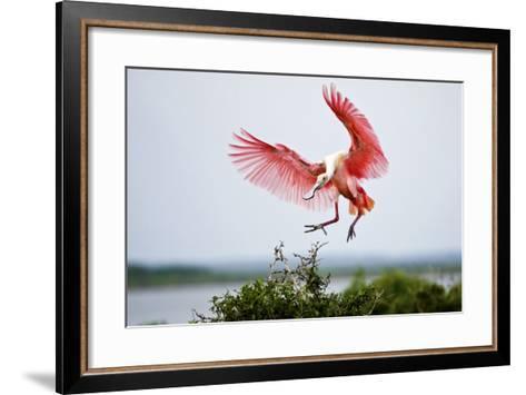 Roseate Spoonbill (Ajaia Ajaja) Adult Landing, Texas, USA-Larry Ditto-Framed Art Print