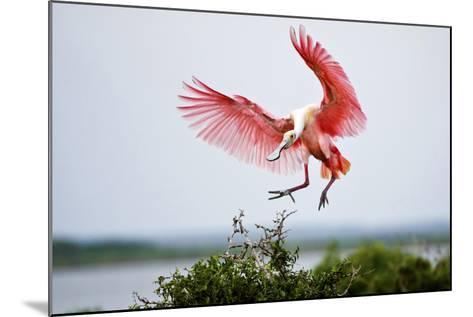 Roseate Spoonbill (Ajaia Ajaja) Adult Landing, Texas, USA-Larry Ditto-Mounted Photographic Print