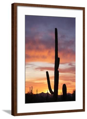 Saguaro Forest at Sunset, Saguaro National Park, Arizona, USA-Jamie & Judy Wild-Framed Art Print