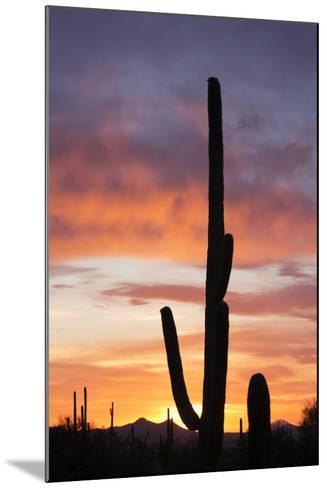 Saguaro Forest at Sunset, Saguaro National Park, Arizona, USA-Jamie & Judy Wild-Mounted Photographic Print
