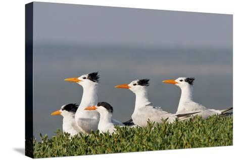 Royal Tern (Sterna Maxima) Nesting in a Colony, Texas, USA-Larry Ditto-Stretched Canvas Print