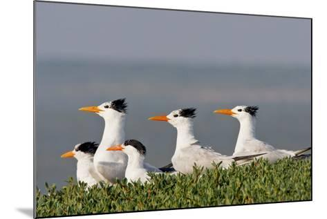Royal Tern (Sterna Maxima) Nesting in a Colony, Texas, USA-Larry Ditto-Mounted Photographic Print