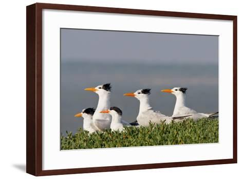 Royal Tern (Sterna Maxima) Nesting in a Colony, Texas, USA-Larry Ditto-Framed Art Print