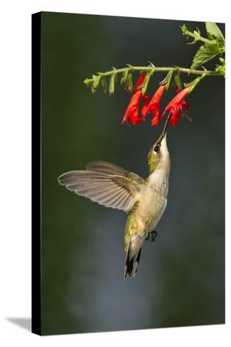 Ruby-Throated Hummingbird (Archilochus Colubris) Feeding, Texas, USA-Larry Ditto-Stretched Canvas Print