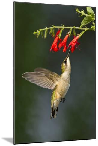 Ruby-Throated Hummingbird (Archilochus Colubris) Feeding, Texas, USA-Larry Ditto-Mounted Photographic Print