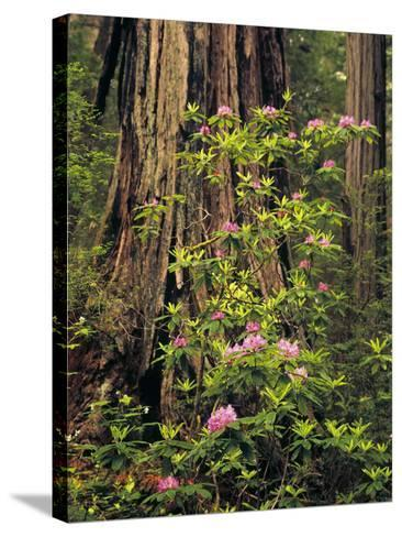 Rhododendrons Blooming in Groves, Redwood NP, California, USA-Jerry Ginsberg-Stretched Canvas Print