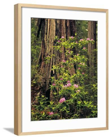 Rhododendrons Blooming in Groves, Redwood NP, California, USA-Jerry Ginsberg-Framed Art Print