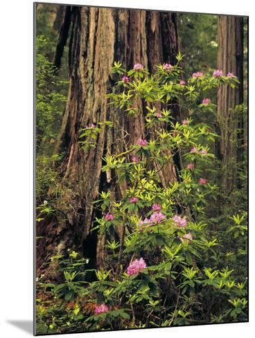 Rhododendrons Blooming in Groves, Redwood NP, California, USA-Jerry Ginsberg-Mounted Photographic Print