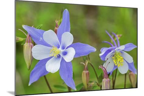 Blue Columbine, Rio Grande National Forest Colorado, USA-Charles Gurche-Mounted Photographic Print