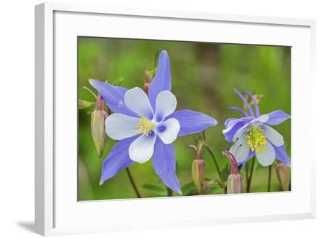 Blue Columbine, Rio Grande National Forest Colorado, USA-Charles Gurche-Framed Art Print