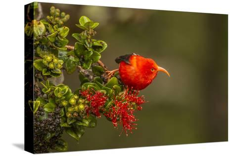 Close-Up of Iiwi Bird on Ohia Tree, Hakalau Forest NWR, Hawaii, USA-Jaynes Gallery-Stretched Canvas Print