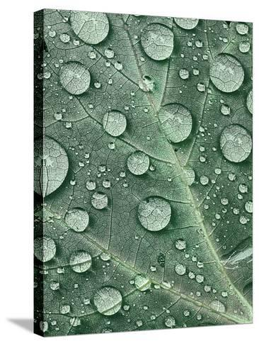 Raindrops on Red Maple Leaf, New York, USA-Charles Gurche-Stretched Canvas Print