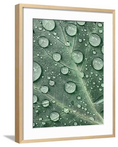 Raindrops on Red Maple Leaf, New York, USA-Charles Gurche-Framed Art Print