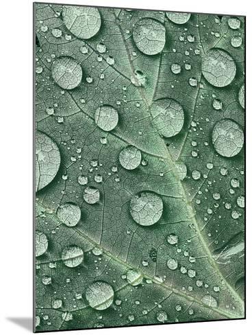 Raindrops on Red Maple Leaf, New York, USA-Charles Gurche-Mounted Photographic Print