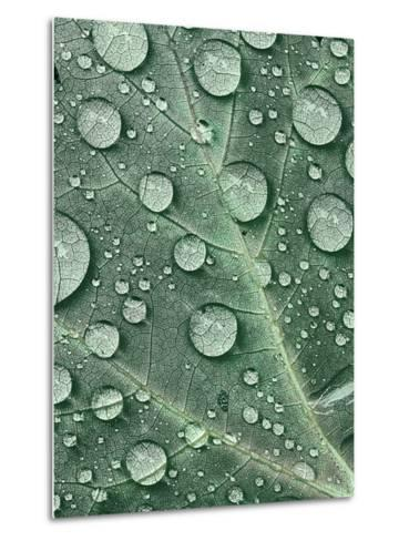 Raindrops on Red Maple Leaf, New York, USA-Charles Gurche-Metal Print