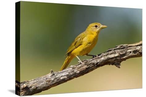 Summer Tanager (Piranga Rubra) Female Perched, Texas, USA-Larry Ditto-Stretched Canvas Print