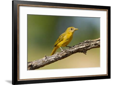 Summer Tanager (Piranga Rubra) Female Perched, Texas, USA-Larry Ditto-Framed Art Print
