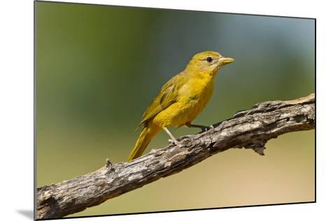 Summer Tanager (Piranga Rubra) Female Perched, Texas, USA-Larry Ditto-Mounted Photographic Print
