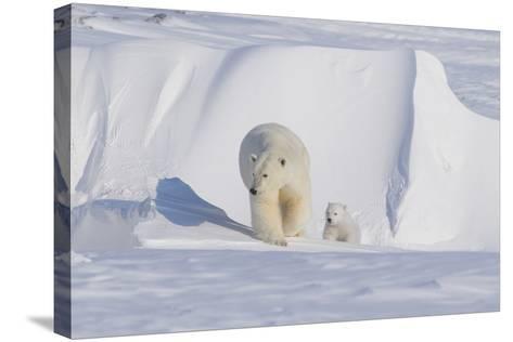 Polar Bear with Spring Cub, ANWR, Alaska, USA-Steve Kazlowski-Stretched Canvas Print