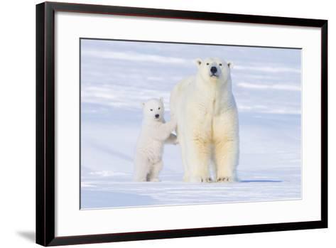 Polar Bear with Spring Cub, ANWR, Alaska, USA-Steve Kazlowski-Framed Art Print