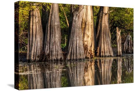 Bald Cypress in Water, Pierce Lake, Atchafalaya Basin, Louisiana, USA-Alison Jones-Stretched Canvas Print