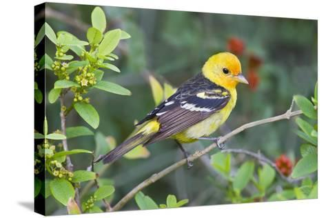 Western Tanager (Piranga Ludoviciana) Male in Spring, Texas, USA-Larry Ditto-Stretched Canvas Print
