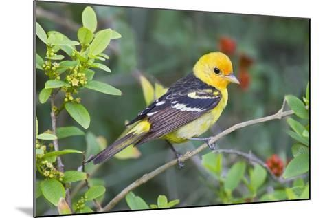 Western Tanager (Piranga Ludoviciana) Male in Spring, Texas, USA-Larry Ditto-Mounted Photographic Print