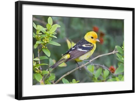 Western Tanager (Piranga Ludoviciana) Male in Spring, Texas, USA-Larry Ditto-Framed Art Print