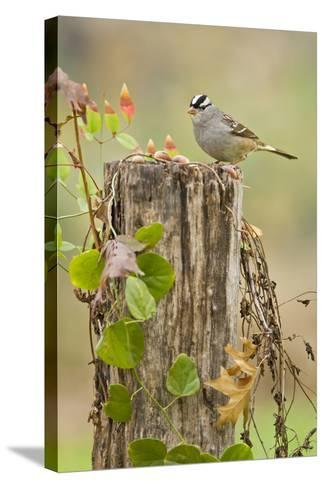 White-Crowned Sparrow (Zonotrichia Leucophrys) Foraging, Texas, USA-Larry Ditto-Stretched Canvas Print