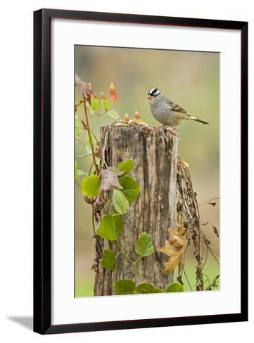 White-Crowned Sparrow (Zonotrichia Leucophrys) Foraging, Texas, USA-Larry Ditto-Framed Art Print