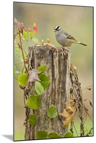 White-Crowned Sparrow (Zonotrichia Leucophrys) Foraging, Texas, USA-Larry Ditto-Mounted Photographic Print