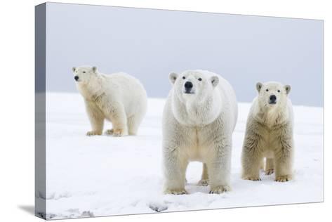 Polar Bear with Two 2-Year-Old Cubs, Bernard Spit, ANWR, Alaska, USA-Steve Kazlowski-Stretched Canvas Print