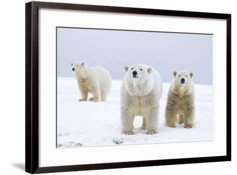 Polar Bear with Two 2-Year-Old Cubs, Bernard Spit, ANWR, Alaska, USA-Steve Kazlowski-Framed Art Print