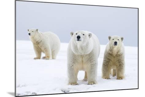 Polar Bear with Two 2-Year-Old Cubs, Bernard Spit, ANWR, Alaska, USA-Steve Kazlowski-Mounted Photographic Print